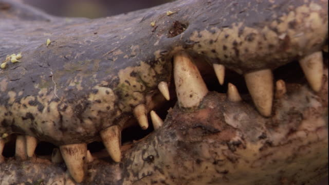 Jagged teeth are visible in the jaws of a spectacled caiman. Available in HD.