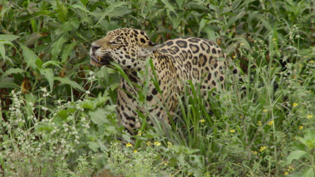 jaguar (panthera onca) chews on grass by river. - colour image stock videos & royalty-free footage