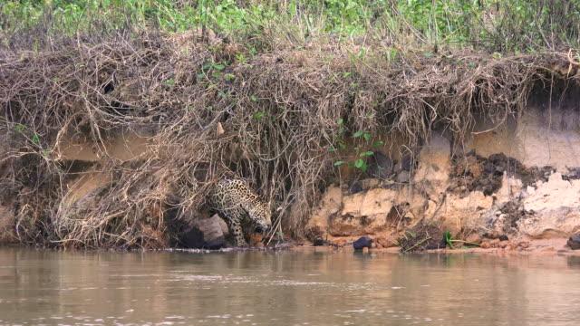 jaguar, cuiaba river, pantanal, brazil - animals hunting stock videos & royalty-free footage