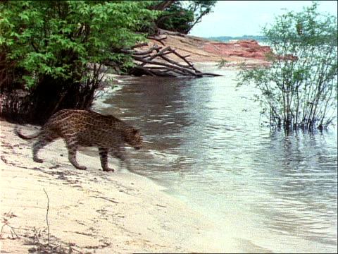 a jaguar enters a lake. - riva del lago video stock e b–roll
