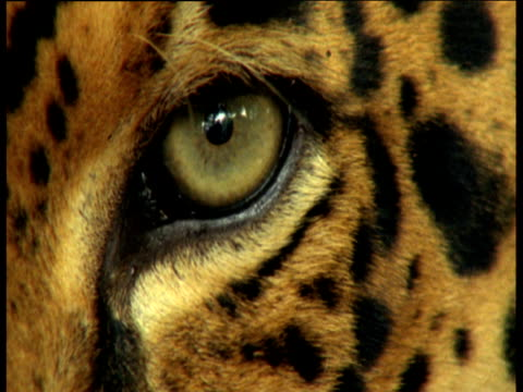 jaguar eye opens and closes - power in nature点の映像素材/bロール