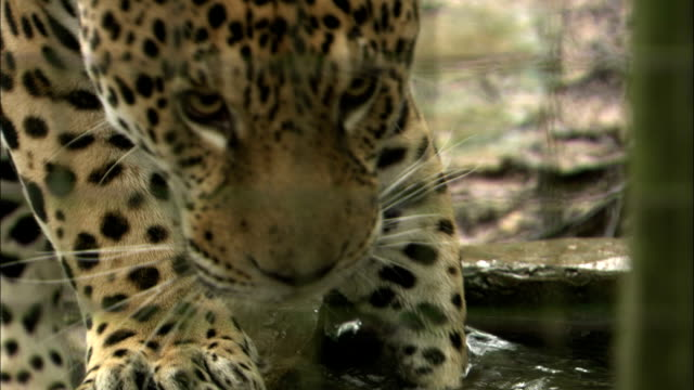 a jaguar grabs a fish and walks away to eat it. - rare stock videos & royalty-free footage