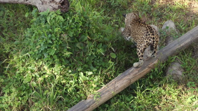 slo mo ms ha jaguar (panthera onca) hunting / manaus, amazonas, brazil - amazonas state brazil stock videos and b-roll footage