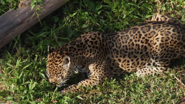 ms ha jaguar (panthera onca) hunting / manaus, amazonas, brazil - amazonas state brazil stock videos and b-roll footage