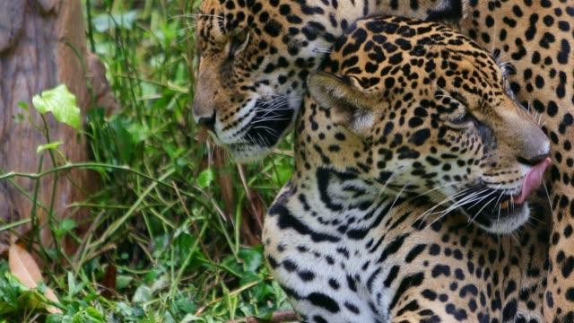 vídeos de stock, filmes e b-roll de onça-pintada em verde - temas de animais