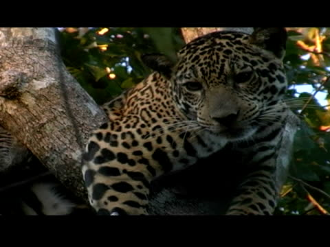 a jaguar lies in the crook of a tree after being tranquilized. - tranquillising stock videos & royalty-free footage