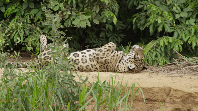 jaguar (panthera onca) lies on back amongst foliage. - laziness stock videos and b-roll footage