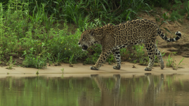 jaguar (panthera onca) limps along river bank. - south america stock videos & royalty-free footage