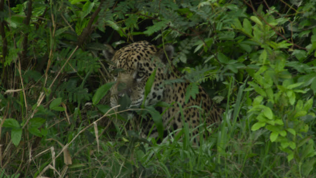 jaguar (panthera onca) looks around from within foliage. - south america stock videos & royalty-free footage