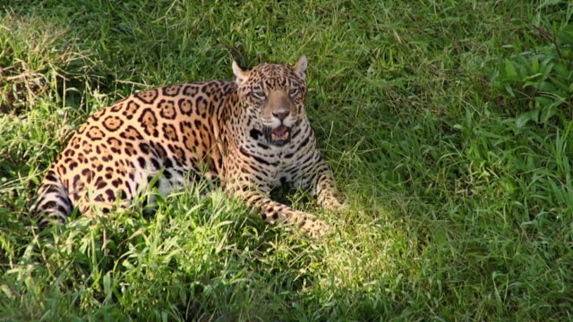 ms ha jaguar (panthera onca) lying on grass / manaus, amazonas, brazil - amazonas state brazil stock videos and b-roll footage