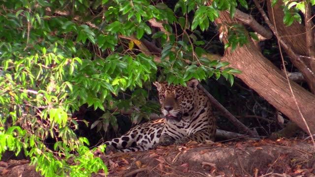vídeos de stock, filmes e b-roll de jaguar, pantanal, brazil - animal selvagem