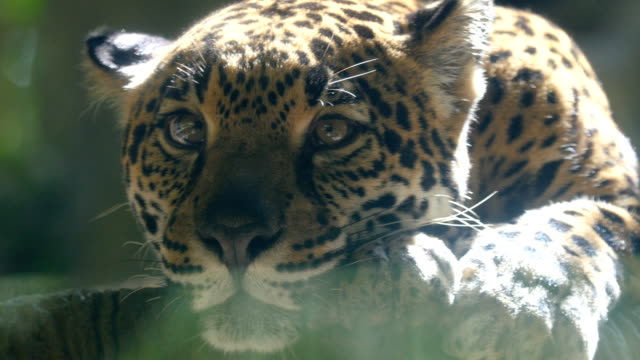 jaguar panthera onca, head looking at camera - ヒョウ点の映像素材/bロール