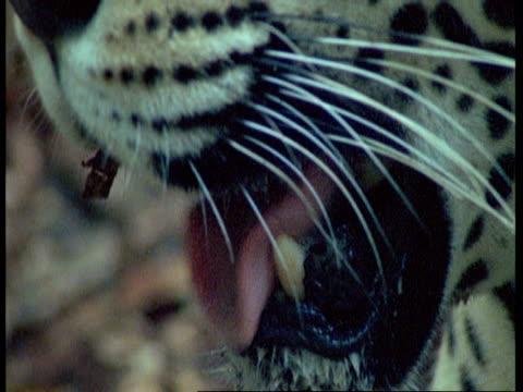 vídeos de stock, filmes e b-roll de bcu jaguar panting, south america - bigode de animal