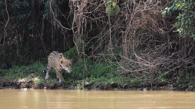 jaguar, poised for attack, cuiaba river, pantanal, brazil - 一隻動物 個影片檔及 b 捲影像