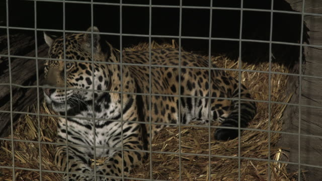 a jaguar (panthera onca) rests in a cage. - compound interest stock videos and b-roll footage