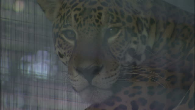 A jaguar rests in a wire cage.