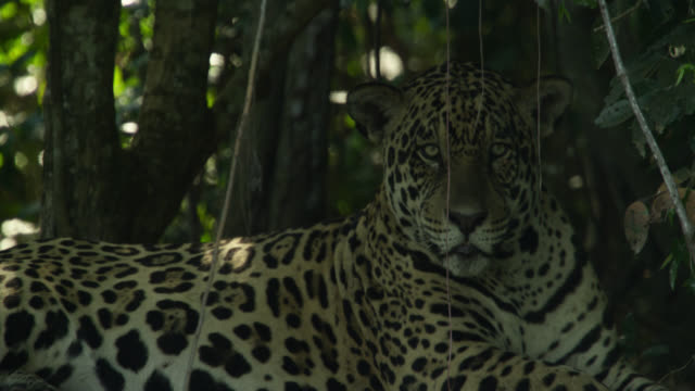 jaguar (panthera onca) rests under tree. - south america stock videos & royalty-free footage