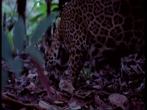 stockvideo's en b-roll-footage met mcu jaguar sniffs floor before lying down, panting, south america - vachtpatroon