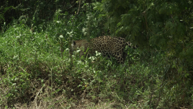 jaguar (panthera onca) stalks through forest at edge of river. - south america stock videos & royalty-free footage