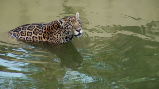 ms ha jaguar (panthera onca) standing in river / manaus, amazonas, brazil - amazonas state brazil stock videos and b-roll footage