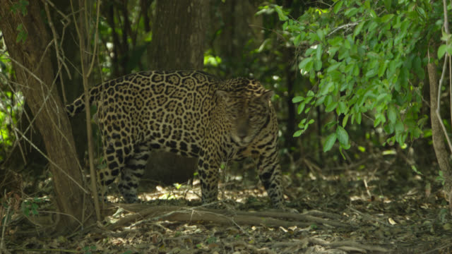 stockvideo's en b-roll-footage met jaguar (panthera onca) stands under trees lashing tail and snaps its jaws. - staartjes