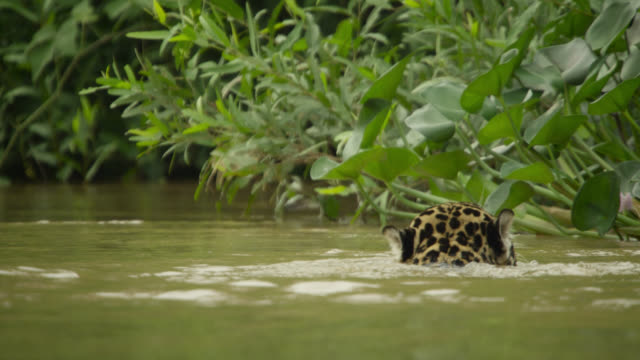 jaguar (panthera onca) swims at edge of river. - south america stock videos & royalty-free footage