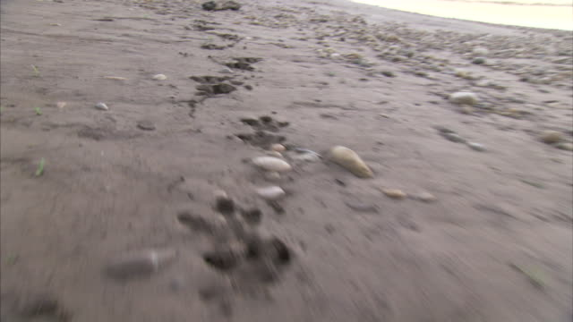 MS POV Jaguar tracks on pebbly beach / ChaparrÌ_ Ecological Reserve, N/A, Peru
