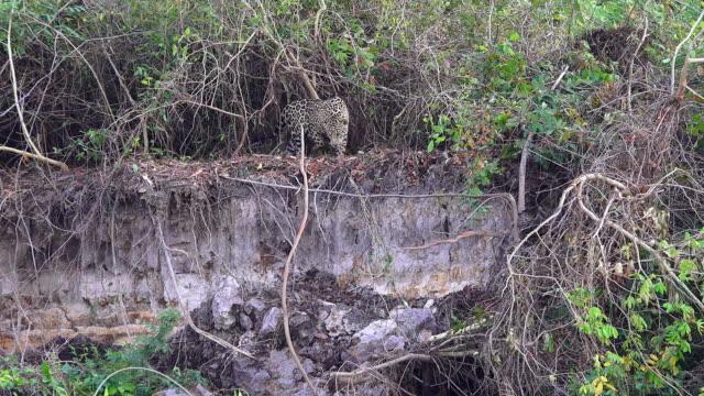 jaguar walking along bank of cuiaba river, looking for food, pantanal, brazil - south america stock videos & royalty-free footage