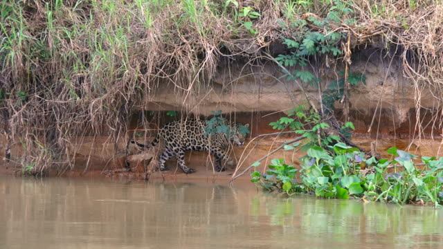 Jaguar walking along bank of Cuiaba River, looking for food, Pantanal, Brazil