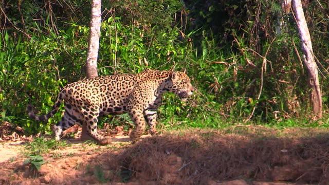 vídeos y material grabado en eventos de stock de jaguar walking along bank of cuiaba river, pantanal, brazil - felino grande
