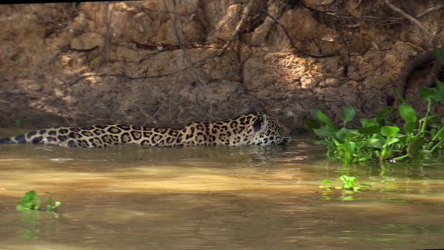 Jaguar walking in deep water, Pantanal, Brazil