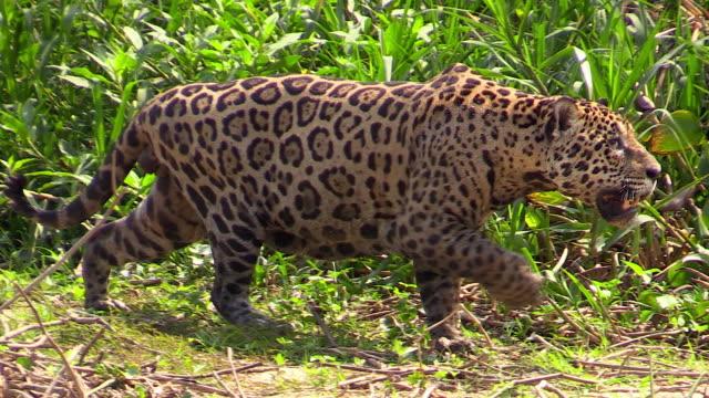 vídeos y material grabado en eventos de stock de jaguar, walking in tall grass, pantanal, brazil - felino grande