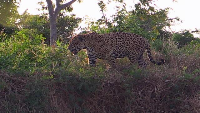 vídeos de stock, filmes e b-roll de jaguar walking on bank of cuiaba river, pantanal, brazil - gato não domesticado