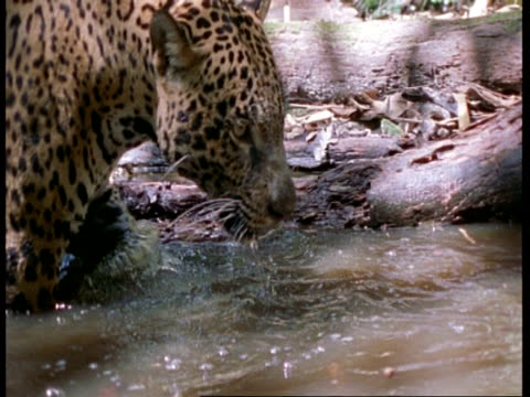 vídeos y material grabado en eventos de stock de mcu jaguar walking slowly through pool, south america - patrones de colores