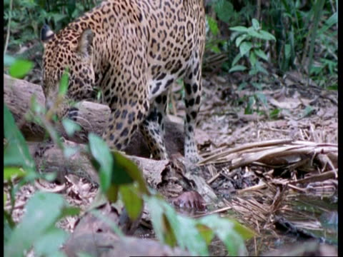 ms jaguar walking through forest, stands in profile, south america - cat family stock videos and b-roll footage