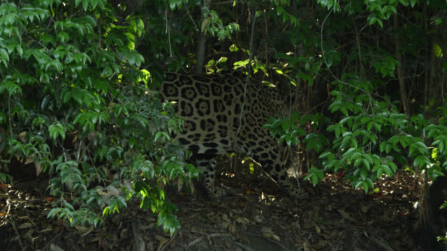 jaguar (panthera onca) walks stealthily through forest. - stealth stock videos and b-roll footage