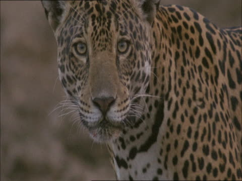 A jaguar wearing a radio collar licks its mouth.