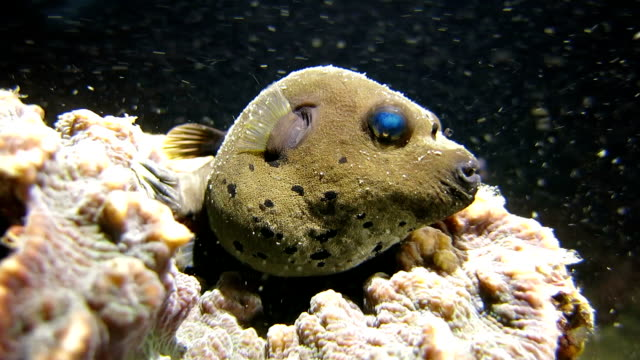 jake the dog (blackspotted pufferfish) in the real underwater world - puffer fish stock videos & royalty-free footage