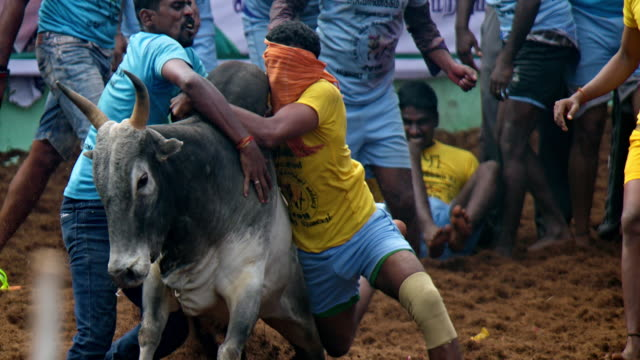 jallikattu is the most famous traditional festival of tamil nadu this event was conducted during the pongal festival in alanganallur village of... - traditional sport stock videos & royalty-free footage