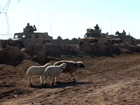 vidéos et rushes de january 21 2005 montage sheep and military vehicles in countryside, baghdad, iraq, audio - groupe moyen d'animaux