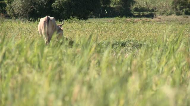 january 5 2011 r/f bull grazing in field / mirebalais haiti - hispaniola stock videos & royalty-free footage