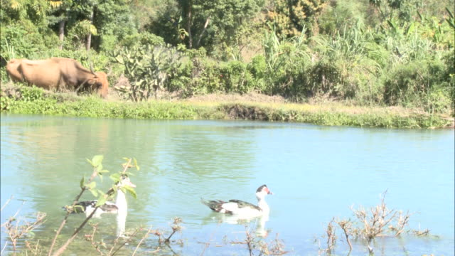 january 5 2011 ws villager leading cattle along riverbank / mirebalais haiti - hovdjur bildbanksvideor och videomaterial från bakom kulisserna