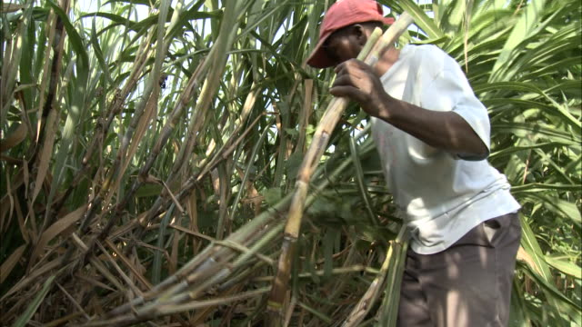 january 8 2011 ts farmhand with machete cutting cane on sugar cane farm/ leogane haiti - sugar cane stock videos and b-roll footage