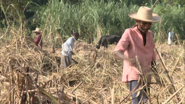 january 8 2011 ts farmhands harvesting cane on sugar cane farm cow grazing beyond / leogane haiti - sugar cane stock videos & royalty-free footage