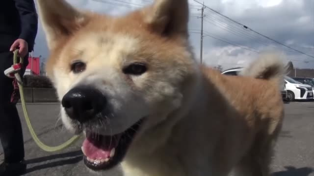 police honored an akita dog and its owner monday for coming to the rescue of an elderly woman in northeastern japan - pure bred dog stock videos and b-roll footage