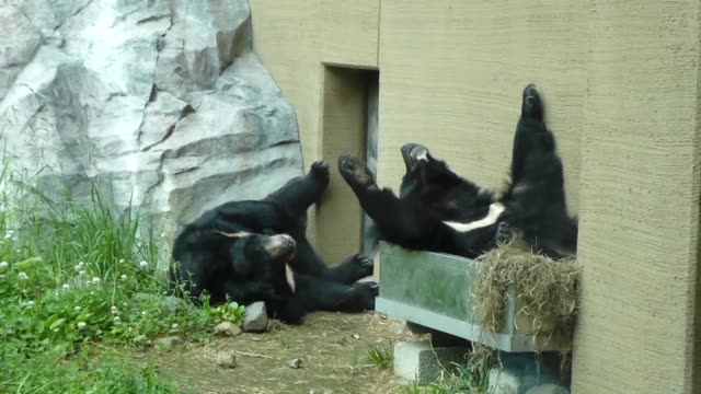 japan -aug. 3: two himalayan black bears at sapporo maruyama zoo in hokkaido, the northern main island of japan, are gaining a reputation for... - 怠惰点の映像素材/bロール