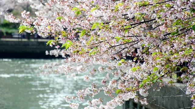 japan kirsche blumen blühen baum am see - präfektur osaka stock-videos und b-roll-filmmaterial