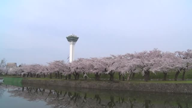 cherry blossoms are in full bloom at goryokaku park in hakodate hokkaido on may 3 2020 - traditional festival stock videos & royalty-free footage