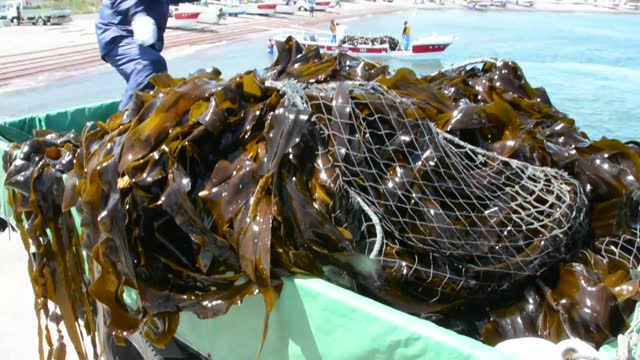 harvested kelp is unloaded from a fishing boat in nemuro in japan's northernmost main island of hokkaido on june 2, 2021. over 200 japanese fishing... - seaweed stock videos & royalty-free footage
