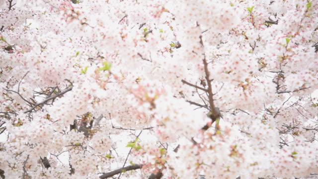 HD : Japan in pink season , Cherry blossom park